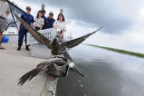Brown Pelicans being released