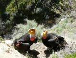 California Condor pair
