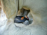 California Condor and chick in nest cave