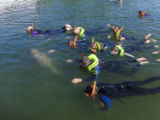 Snorkelers swim with manatee