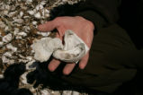 FWS Employee examines shells from ancient shell mound