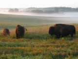 Bison Roam the Fields