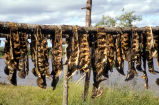 Salmon Drying Along Koyukuk River