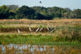 Sandhill cranes at Stone Lakes National Wildlife Refuge