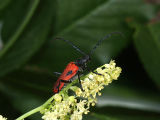 Male Valley elderberry longhorn beetle