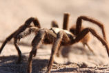 Close up Image of a Tarantula