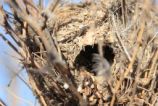 Bird Nest on Cabeza Prieta National Wildlife Refuge