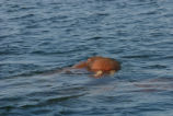 Bull Walrus Swimming