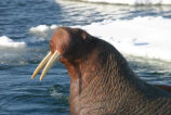 Pacific Walrus Bull Hauled Out