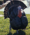 Domestic turkey