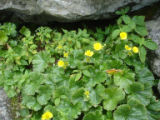 Group of blooming spreading avens