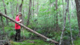 NC Wildlife Resources Commission volunteer Cynthia Waggoner searches for bog turtles.
