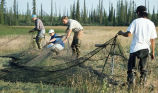 Setting a waterfowl capture net