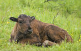 Wood bison calf