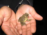Arroyo Toad