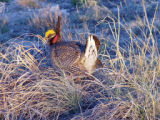 Prairie chicken looking around