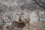 Three Deer on Muleshoe National Wildlife refuge