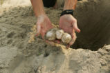 Turtle egg relocation