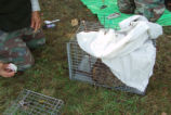 Caged Nutria is Covered to Keep Animal Calm During Tagging