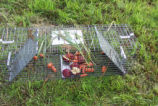 Baited trap used to capture nutria
