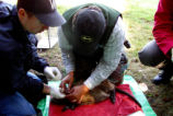 Tagging Nutria with Radio Telemetry Devices