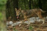 Red wolf captive