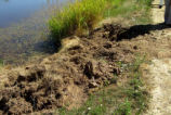 Nutria Cause Bank Erosion