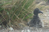 Short-tailed Albatross chick survives major storm