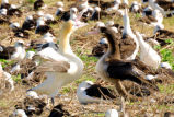 Short-tailed Albatross Pair-bonding Dance