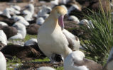 Short-Tailed Albatross Chick Hatches at Midway Atoll National Wildlife Refuge
