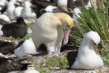 Male Short-tailed Albatross and Chick