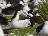 Female Short-tailed Albatross on Chick