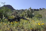 Sonoran Desert at the Cabeza Prieta National Wildlife Refuge
