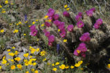 Barrel Cactus and Mexican Golden Poppy
