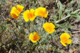 Mexican Golden Poppy
