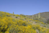 Brittlebush and Saguaro Cacti