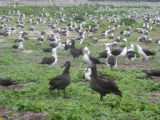 Black-footed Albatrosses and Laysan Albatrosses
