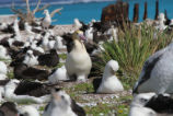 Nesting Short-tailed Albatross Cover Midway Atoll