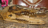 Crocodile Ashtray