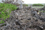 Chicks and Adults Washed into Vegetation During Tsunami