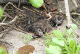 Two Laysan Albatross Chicks Half Buried Were Later Rescued
