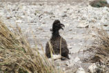 Short-tailed Albatross Chick Survives Tsunami