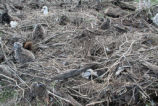 Laysan Albatross and Chicks Were Trapped and Later Rescued