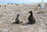 Black-footed Albatross chick and Short-tailed Albatross Chick Survive Tsunami