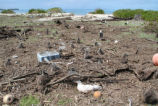 Laysan Albatross Stuck in Debris on Eastern Island