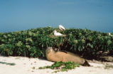 Hawaiian monk seal and Red-footed booby