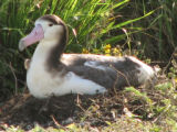 Short-tailed Albatross on its Nest