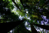 Looking Up at an Old Growth Canopy