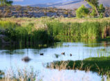 Waterfowl at Pahranagat National Wildlife Refuge