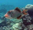 Yellowmargin Trigger fish